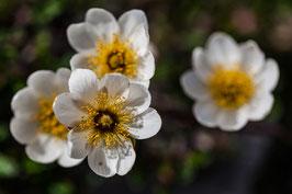 Blume 17