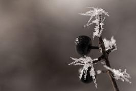 Pflanze mit Eiskristallen 1