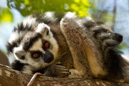 Lemuren Madagaskar 2