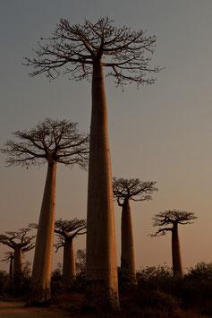 Baobab-Bäume Madagaskar