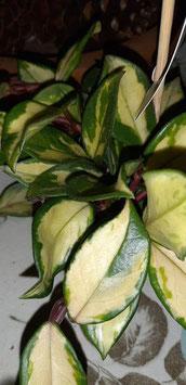 Hoya carnosa medio picta variegated  tallo