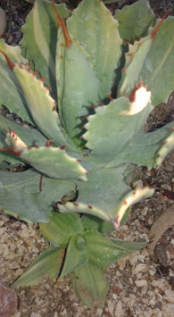 agave isthmensis variegated