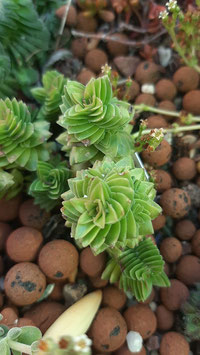 Crassula estangol  tallo  de madre