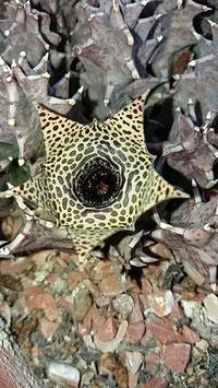 Huernia thuretii hybrid -