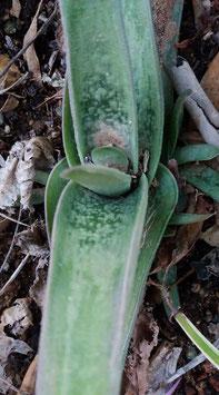 Gasteria sp. Panaschieri   - hijuelo 3cm