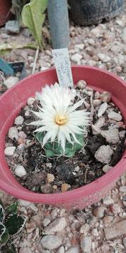 coryphantha  maie tablasensis