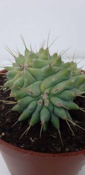 ferocactus glaucescens f. nudum bicepala CRISTATA