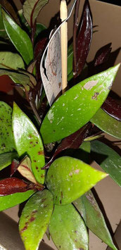 Hoya publicalix hybrid  planta completa 8cm