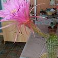 Trichocereus hybrid thelegonus x kermesina  - TACO 10CM