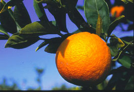 ブラッドオレンジ BIO