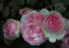 Postkarte Rose antik 2