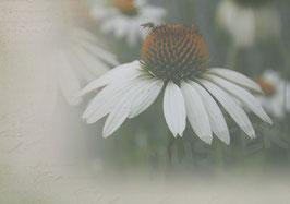Postkarte Echinacea
