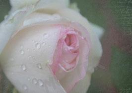 Postkarte Rose nach dem Regen