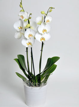 Orchidee, weiss