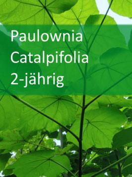 Paulownia Catalpifolia 2-jährig für 04-2022