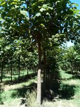 40-45cm StU (Paulownia ShanTong)