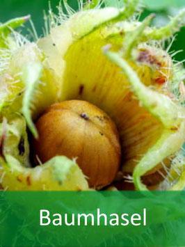 Baumhasel (Corylus colurna) für 09-2022