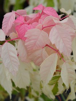 "Eschenahorn (Acer negundo) ""Flamingo"""