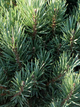"Silberkiefer (Pinus sylvestris) ""Watereri"""
