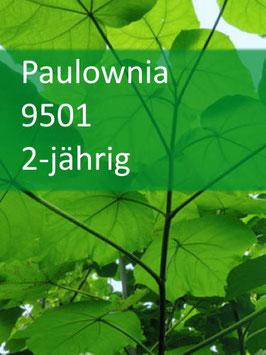 Paulownia 9501 2-jährig für 2021