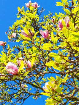 """Purpur-Magnolie (Magnolia lilliflora) """"Nigra"""""""