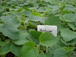Paulownia (fortunei) - Plantas de semillero