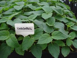 Paulownia (catalpifolia) - Plantas de semillero
