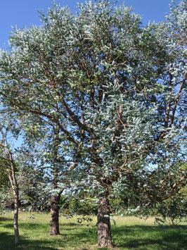 Mostgummi-Eukalyptus (Eucalyptus gunnii)