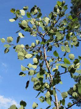 Zitterpappel / Espe / Aspe (Populus tremula)