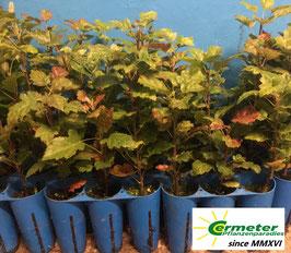 Elsbeere (Sorbus torminalis) im Quickpot