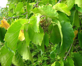 Baumhasel (Corylus colurna)