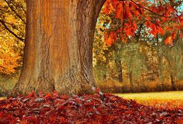 Roteiche / Amerikanische Spitzeiche (Quercus rubra)