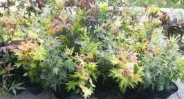 Japanischer Ahorn (Acer japonicum) - 4 Sorten