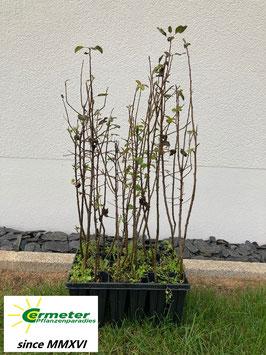 Wildbirne / Holzbirne (Pyrus pyraster)
