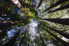 Küstenmammutbaum / Küsten-Sequoie (Sequoia sempervirens)