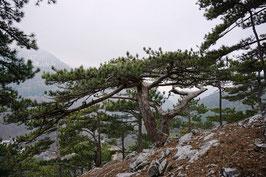 Schwarzkiefer / Schwarzföhre (Pinus nigra)