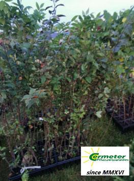 Holzapfel / Europäischer Wildapfel (Malus sylvestris)