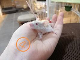 テディマウス④ 盛岡店 販売