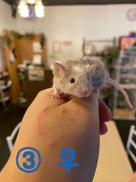テディマウス③ メス 青森店 販売