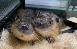 【激レア】オーストラリアミズネズミ 別名:ビーバーネズミ ペア販売