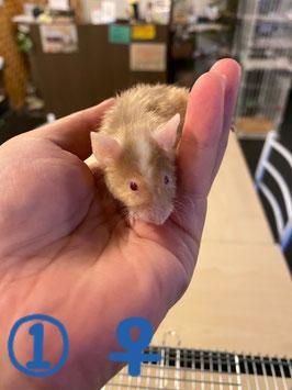 テディマウス① メス 青森店 販売