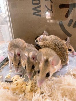 カイロトゲマウス 青森店 販売