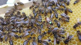 Auf Anfrage: Gelee Royale, Apitoxin (Bienengift, kristalin)  Königinnen: Carnica, oder Buckfast, Bienen für Apitherapie usw.