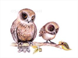 Boobook Owls Print