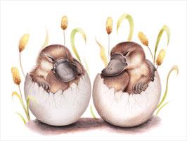 Platypus Hatchlings Print