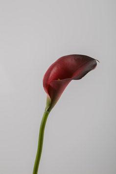 10 Stück Single Calla Lily 48cm