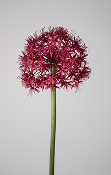 Allium Flower Stengel 95cm
