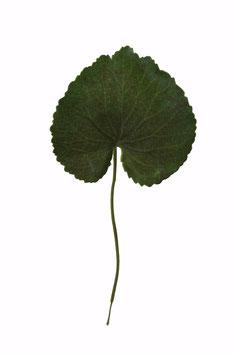 Small Galax Leaf x1 20cm