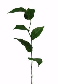 Salal Lvs Single Stem w/6 lvs 56cm