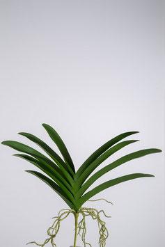 Orchid Vanda Foliage 43cm
